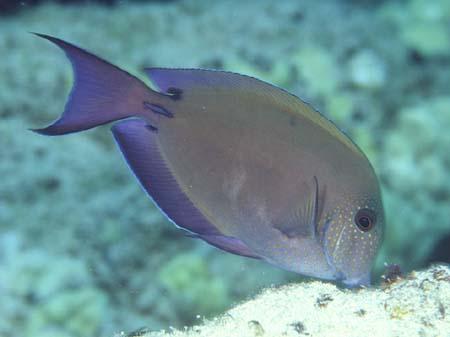Fish of the month brown surgeonfish acanthurus nigrofuscus for Edible hawaiian fish