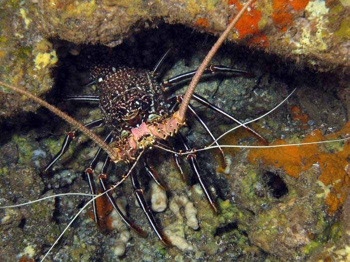 Hawaii lobsters