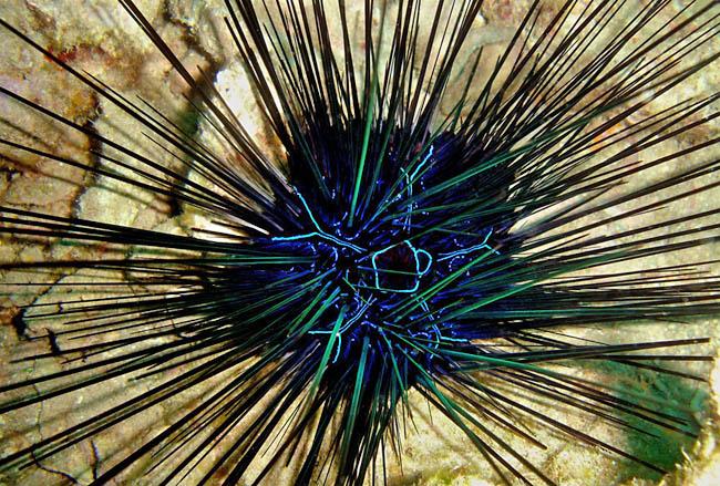 blue sea urchins